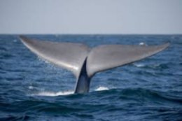 Whale flukes off of Nantucket