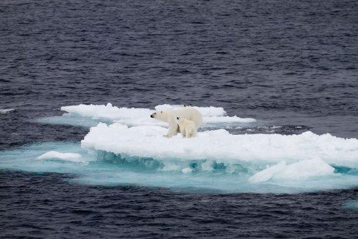 Polar bears on a small piece of ice