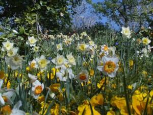 narcisse-jardin-botanique-Jerusalem-2012-photo-reduite-300x225