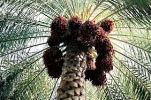 palmier-dattier-281809[1]