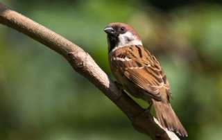 ohio tree sparrow