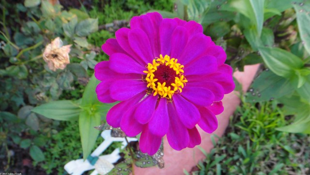 Purple Zinnia #1 // Ashlee Craft
