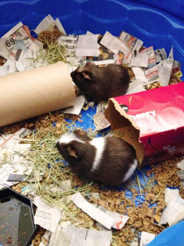 Two brown and white guinea pigs in their cage