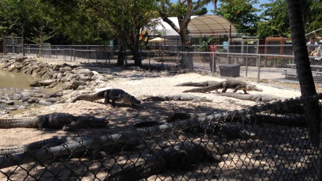 Everglades Alligator Farm - Alligator Feeding - My Awesome Florida Road Trip
