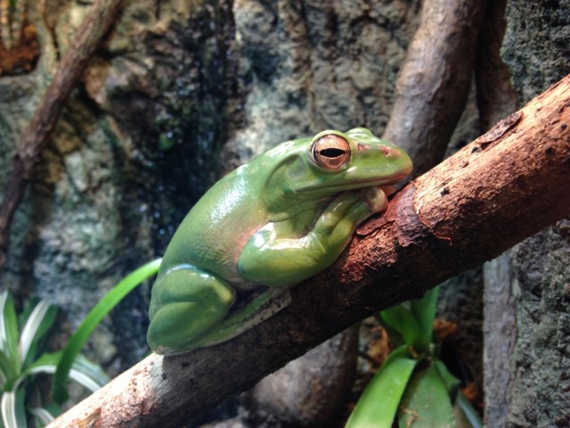 Tree Frog - Frogs: A Chorus of Colors - Florida Museum of Natural History - Gainesville - My Awesome Florida Road Trip