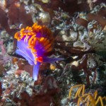 Spanish Shawl Nudibranch in Point Loma Kelp Beds, San Diego