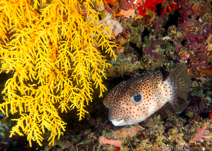 Pufferfish in Fiji