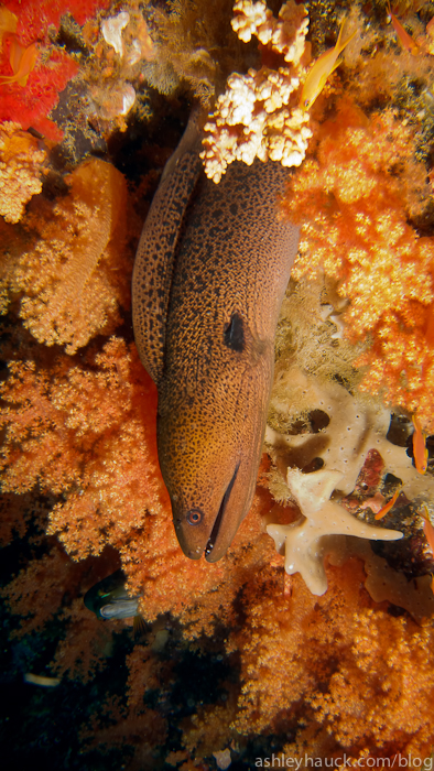 Moray eel and Fiji soft coral