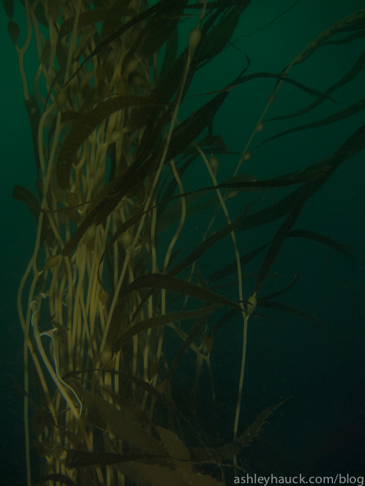 Low visibility in the kelp forest.