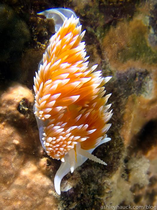 Catalina - Hermissenda crassicornis