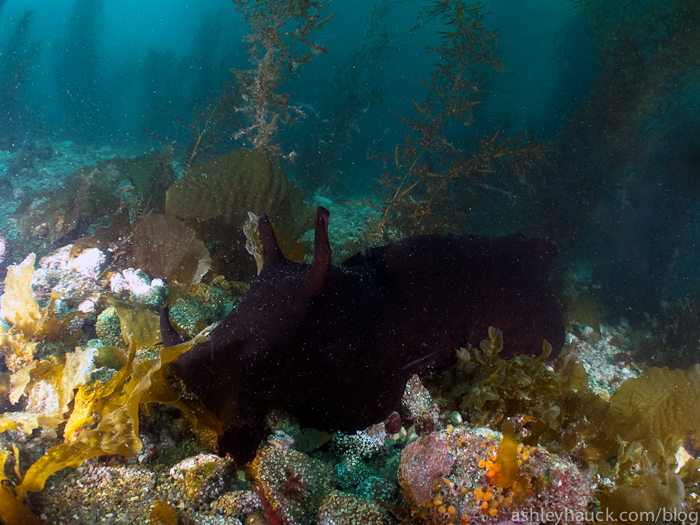 Catalina - world's biggest sea hare!