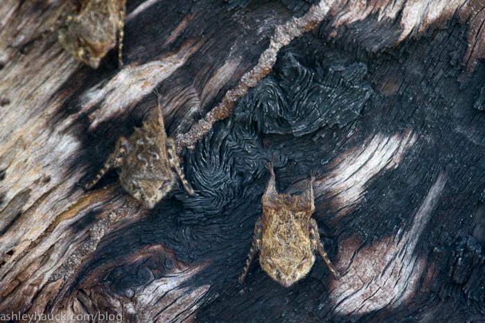 Bats, New River, Belize