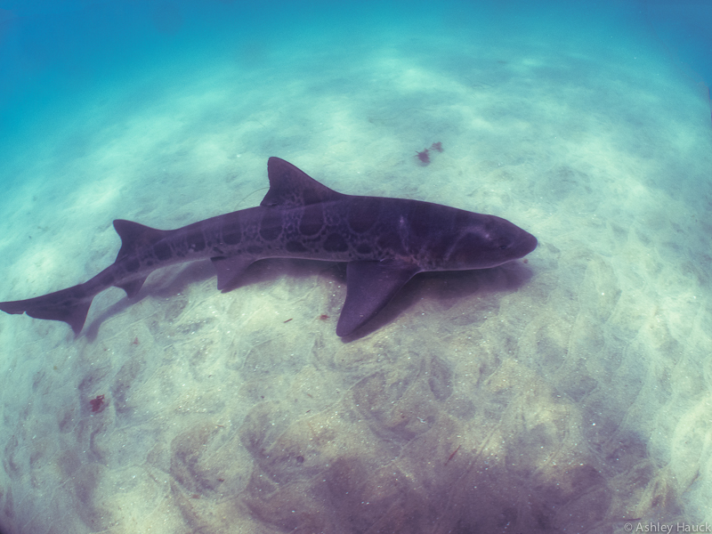 Leopard Shark at Marine Room, La Jolla, California