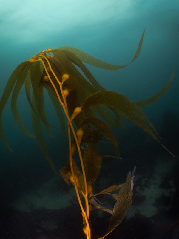 Photo of scuba diving Marine Street Beach - kelp