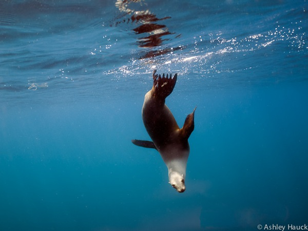 California Sea Lion 18