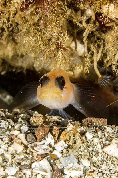 catalina chamber day-blackeye-goby-2