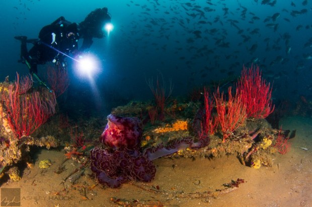 Divers and jellyfish on USS Hogan wreck, San Diego