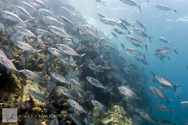 Sea of Cortez diving: Fish at La Reina, Sea of Cortez, Mexico
