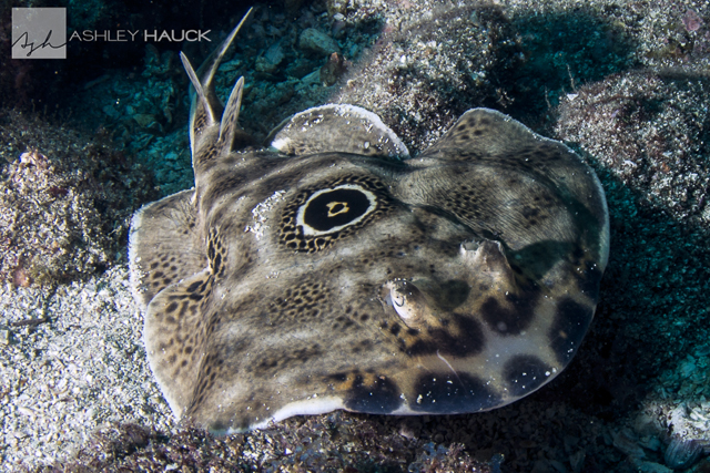 Sea of Cortez diving: Bullseye torpedo electric ray, Sea of Cortez, Mexico