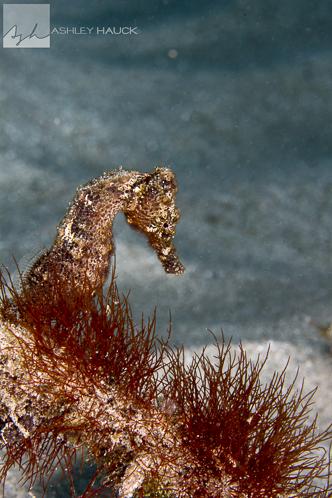 Seahorse, Curaçao