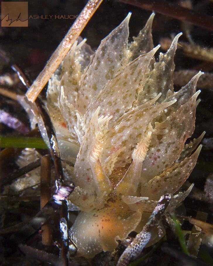 San Diego, California: Dirona picta nudibranch