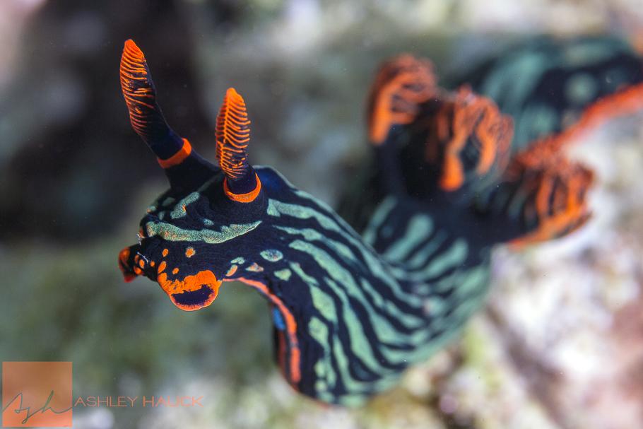 Anilao, Batangas, Philippines: Nembrotha kubaryana nudibranch