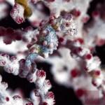 Anilao, Batangas, Philippines: Pygmy seahorse