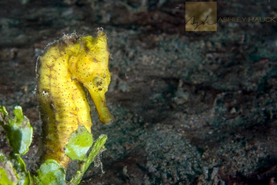 Yellow thorny seahorse, Anilao, Philippines