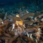 Catalina Island, California: Red Octopus