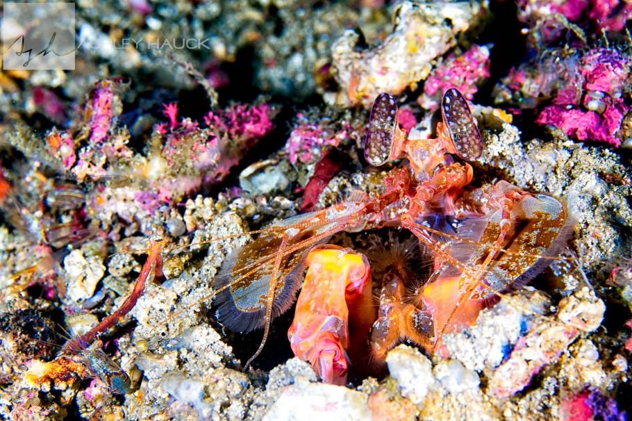 Gorlock Mantis Shrimp