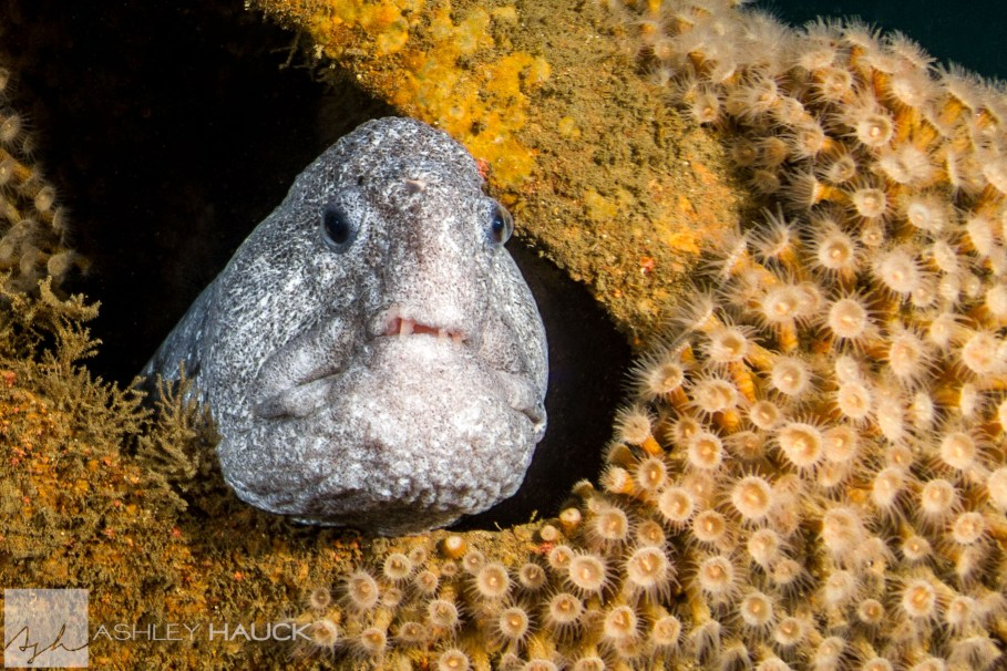 A wolf eel living in the wreckage of the UB-88 submarine wreck