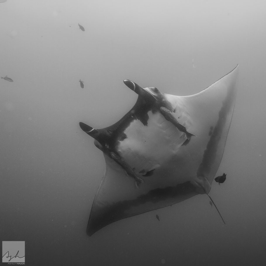 Black and white manta ray at Revillagigedos archipelago (Socorro Islands)