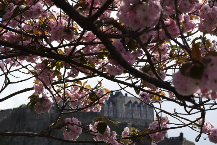 Edinburgh Cherry Blossoms