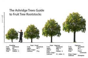 Apple Tree Rootstock information