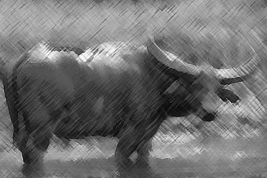 bufalo sotto la pioggia
