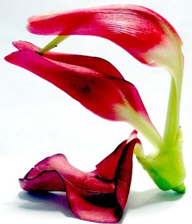Fiore rosso di Sesbania grandiflora