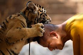 Un monaco buddista gioca con una tigre a Wat Pa Luang Ta Bua, noto anche come il Tempio della tigre, nella provincia di Kanchanaburi, in Thailandia. (Athit Perawongmetha, Reuters/Contrasto)
