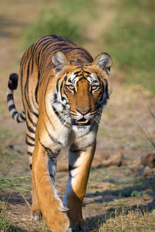Tigre del Bengala al Jim Corbett National Park in India foto sumeet moghe
