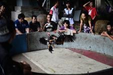 combattimenti galli Thailandia scommesse