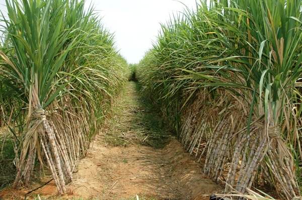 Image result for sugar cane