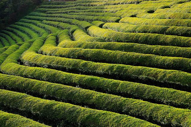 Boseong-Tea-Plantation보성차밭