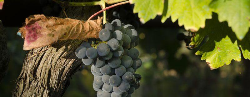 collepetruccio_grapes