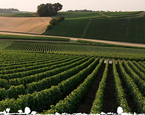 their vineyard