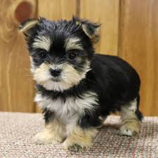 Morkie Puppies for sale in India