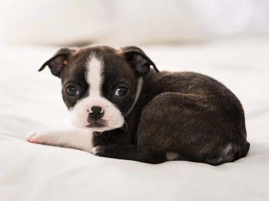 Boston Terrier puppies for sale in India | Best Price
