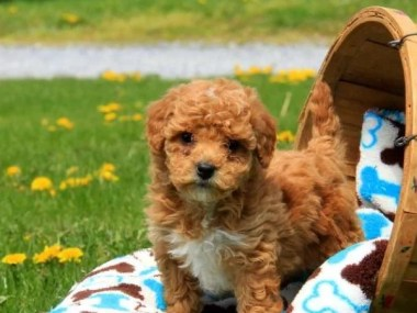 Miniature Poodle Puppies for sale in India