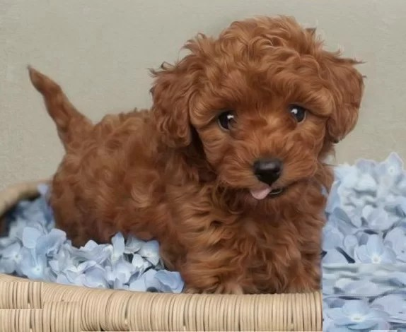 Toy Poodle Puppies for sale in India