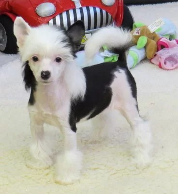 Chinese Crested Dog puppy for sale in India