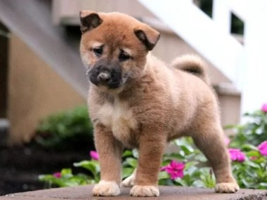 Shiba Inu puppy for sale in India