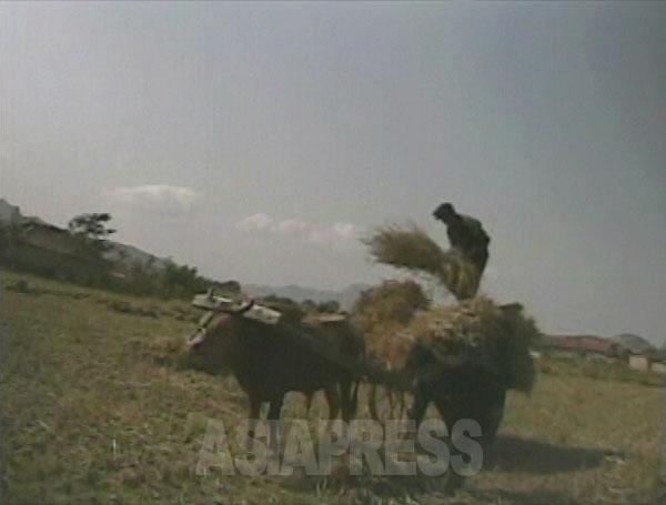 焚き物にするため刈り取り後の田で藁を集める。(2008年10月黄海南道のとある農村 シム・ウィチョン撮影)